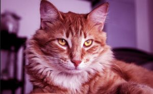 Tips In Caring For Your Maine Coon Cat